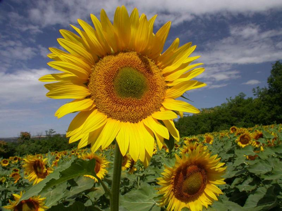 Size_550x415_sunflowers_hungry