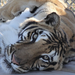 Zeus the tiger arrived from a facility that closed down due to lack of funding.