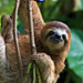 Adopt a 3-toed sloth and save a species
