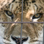 Feed a tiger at Big Cat Rescue and their friends of other species.