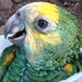 Echo and the Yellow-shouldered Amazon Parrot