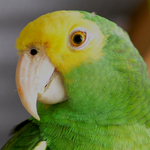 The Yellow-headed Amazon