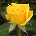 Size_75x75_yellow%20rose