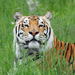 Titan the rescued tiger is asking if you will become a sustaining donor?