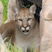 Carlo the cougar is thankful for your support!