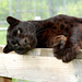 Shazam the leopard is wild at heart becuase of your generosity.