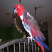 Lucy is a feather picker, a common problem with some captive bred birds
