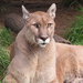 Spring the cougar was a former wild pet.