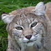 Bella the bobcat was a former wild pet.