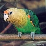 Cape Parrot Project