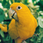 Golden Conure Project