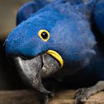 Hyacinth Macaw Project