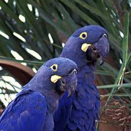 Size 550x415 lears macaw l