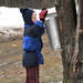 A youngster checks a sap bucket during a maple syruping program