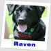 Raven trained in canine critical incident response and canine partnered educational assistance
