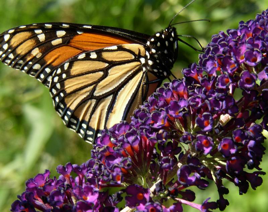 Size_550x415_monarch%20butterfly%201