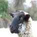 Hog island sheep are only one of the heritage breeds we work to preserve