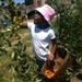 harvesting!