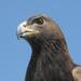 Donald, a golden eagle