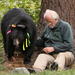 Dr. Lynn Rogers checking the heartbeat. Research bears are festooned with ribbons for protection during hunting season.