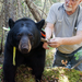 Dr. Rogers adjusting the collar on a research bear.