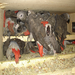 Stop the African Grey Parrot Trafficking