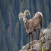 Bighorn sheep battled back from the brink of extinction, however need our help to protect their habitat.