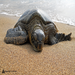Leatherback sea turtles are critically endangered due to the loss of nesting beaches, pollution and more.