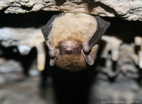 Size_550x415_04_littlebrownbat_annfroschauer_479x350