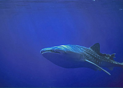 Size 550x415 whaleshark1
