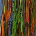 The colorful bark of a eucalyptus, the wood traditionally used by aboriginees for making didgeridoos