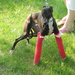 Yoshi with dual broken legs fixed by the Nebraska Italian Greyhound Rescue in 2011.