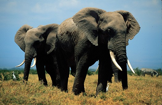 Size_550x415_savanna_elephant