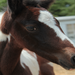 Tucker~ Foal out of rescue mare Celeste.