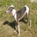 Duncan is a sharp looking dog with a unique pattern.  He has been waiting for a home for almost 2 years.
