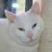 Snowy, one of HSFN's cats available for adoption smiles with thanks!