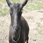 Save Mocha's Life: Help fund a miracle mastectomy for a gravely-ill goat