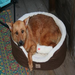 Honey is a June 2010 alum of Shelby Humane Society who was transported to the Humane Society for Greater Nashua.