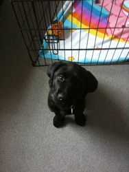 Size_550x415_lab%20puppy