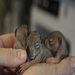 Orphaned baby tree squirrels.