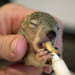 Orphaned baby squirrels are hand fed more than 200 times during their stay at Coast &  Canyon.
