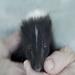 Peanut, an orphaned baby skunklet.