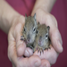 Orphaned baby ground squirrels ~ a sister and brother.