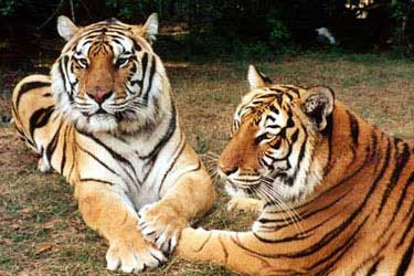 Size_550x415_tigersholdpaws