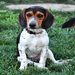 Chief the Beagle was found as a stray - now adopted!