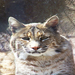 Bobcats like to nap most of the day, but when they're awake they can be very fun to watch.