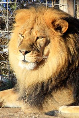 Size 550x415 lion