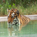 This is one of our Amur tigers, Lana, enjoying a nice dip in the pool.