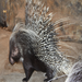Watch out! These African crested porcupines can give you quite a poke.
