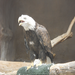Say hello to our bald eagle, Betsy Ross! If you're lucky she might say hi back.